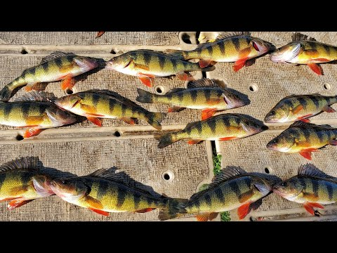 Fishing Yellow Perch With BFS Setup In New Jersey Lake