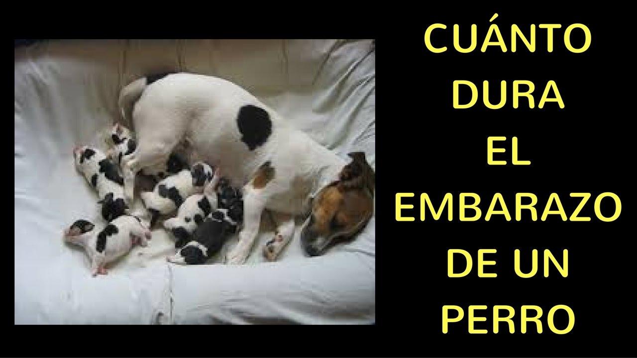 Cuantas semanas dura un embarazo de una perra