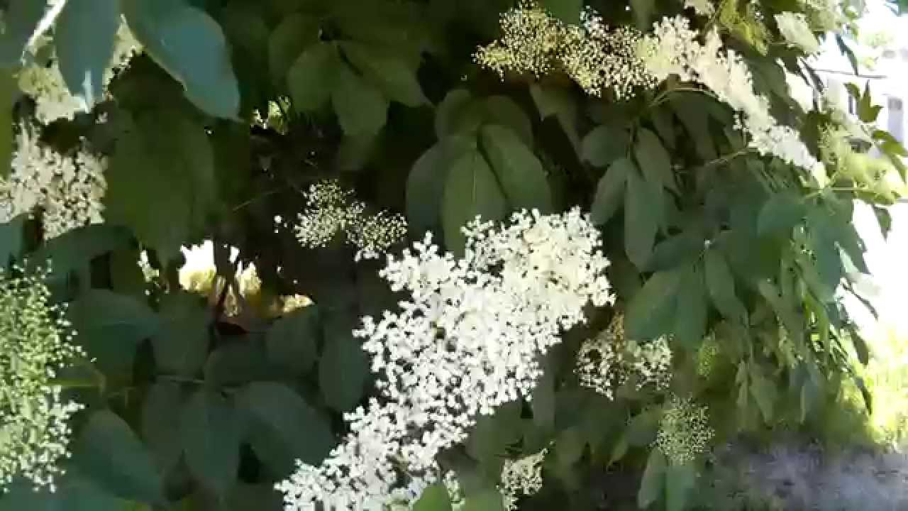 Cироп из ягод бузины c с корицей - YouTube
