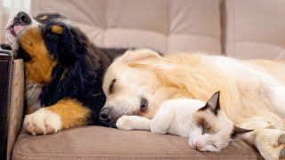 Bernese Mountain Dog Puppy Sleeps with Golden Retriever and Kitten