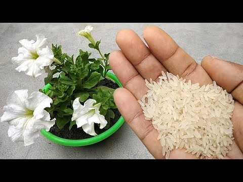 Use rice water for any plants as natural fertilizer | Free homemade fertilizer