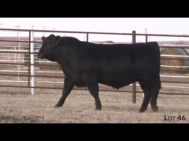 Payne Angus Ranch Lot 46