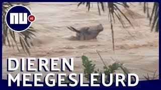 Buffel verdrinkt bijna in waterstroom Filipijnen