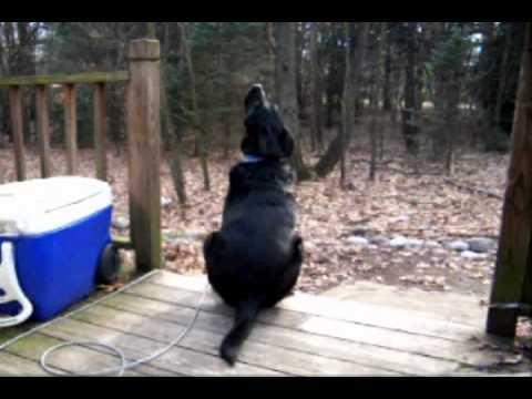 Dog Howling at Tornado Siren