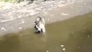 Кот плавает на речке