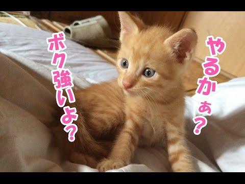 赤ちゃん猫が小さな体で親猫に立ち向かってボコボコにされる