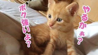 生まれてからまだ1ヶ月の茶太郎が親猫のペロに喧嘩を仕掛けます。茶太郎...