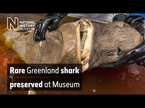 Rare Greenland shark specimen preserved at the Museum | Natural History Museum