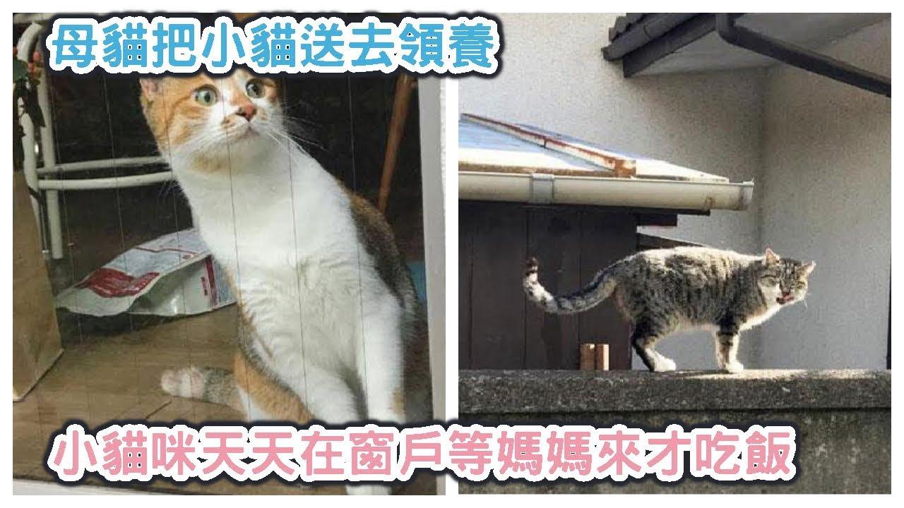 母貓把小貓送去領養 小貓咪天天在窗戶等媽媽來才吃飯 - YouTube