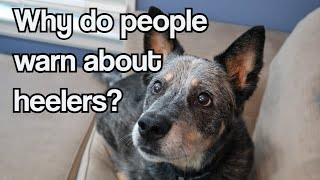 Why Do People Give Warnings About Heelers? ~ Well, Meet Lucien ~