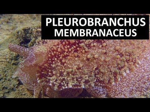 PLEUROBRANCHUS MEMBRANACEUS (Highland dancer). Scuba diving Ireland