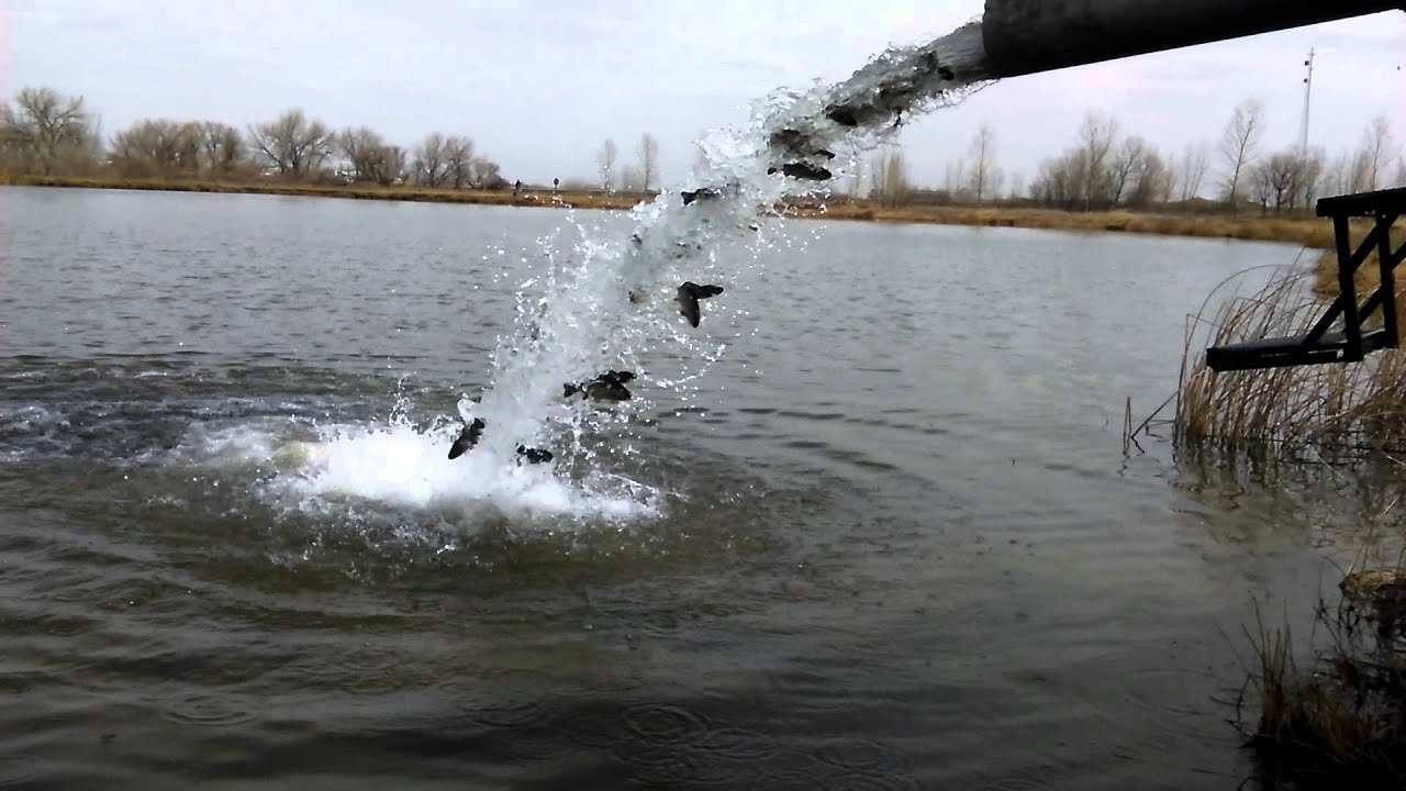 Stocking fish in our favorite lake youtube for Colorado fish stocking