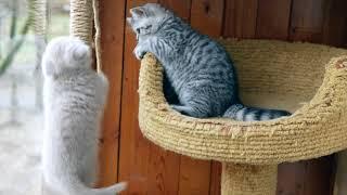 Лиловая британская кошка, 8 недель