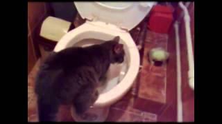 Непременно смотреть видео смешные кошки. Изучаем унитаз
