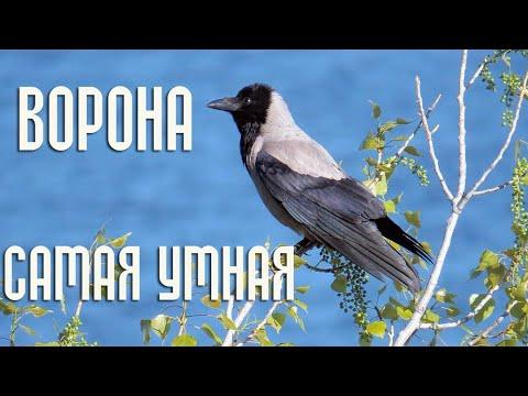 Ворона - самая умная птица / Интересные факты из жизни ворон - Птицы России - Фильм 29