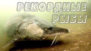 Рекордные пресноводные рыбы. Все серии подряд