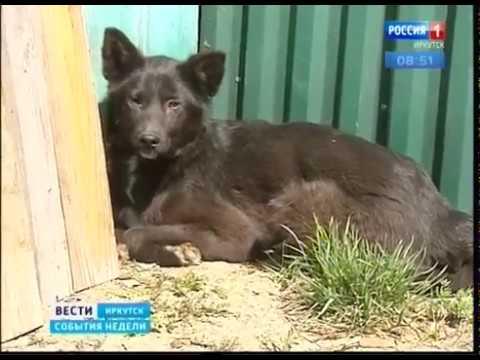 В Иркутске бродячие собаки держат в страхе жителей микрорайона Синюшина гора  Почему на улицах их ст