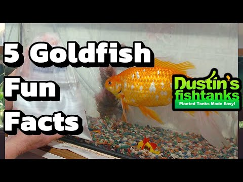 How To Keep Goldfish: Goldfish Facts- Five Fun Facts About Goldfish