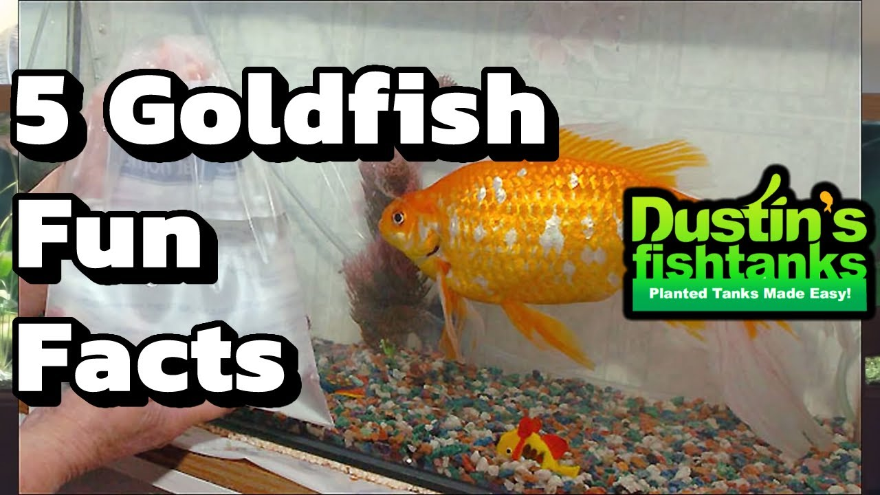 How to keep goldfish goldfish facts five fun facts about for Dustins fish tanks