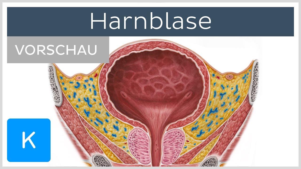 Harnblase (Vorschau) - Anatomie des Menschen |Kenhub