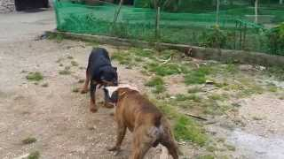 Rottweiler puppy and a boxer train and playing...
