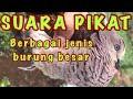 Suara Pikat Berbagai Jenis Burung Besar Uncal Pergam Takur Kuao Kepodang Punai Herlung  Mp3 - Mp4 Download