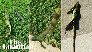 Video Out cold: iguanas fall from trees as temperatures drop in Florida download MP3, 3GP, MP4, WEBM, AVI, FLV Januari 2018