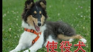 大型犬の中でも私たちを助けてくれる、そんな素晴らしい犬種をランキン...