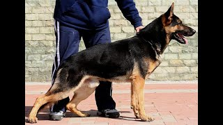 Protection Dogs Ccpd - How To Train Your Dog For Muzzle Work.