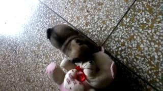 Pug & Teddy