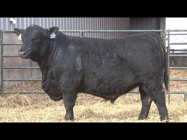 Schiefelbein Angus Farms Lot 220