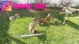 Котята бенгальские готовые к переезду
