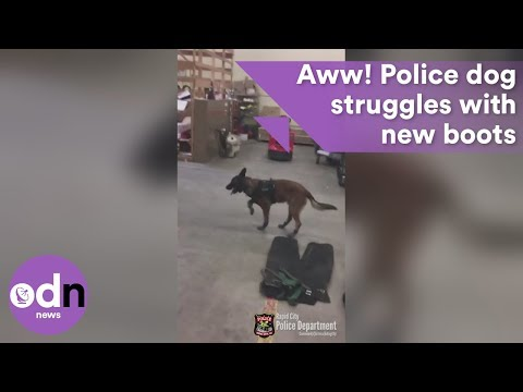 Hilarious video of police dog struggling with new boots