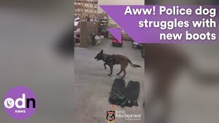 Snow way! Police dog struggles with new boots