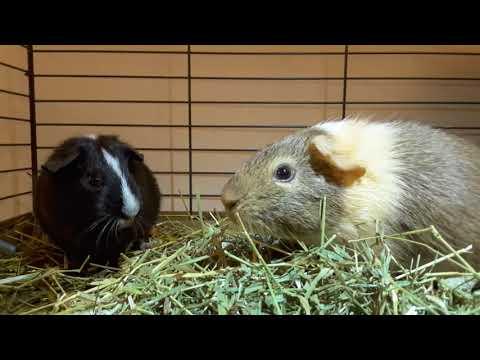 Guinea Pig Farms #001.02: Angel, Avery and Caleb Enjoy Their Lunch