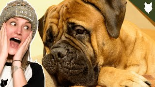 ARE BULLMASTIFF GOOD FOR FIRST TIME OWNERS
