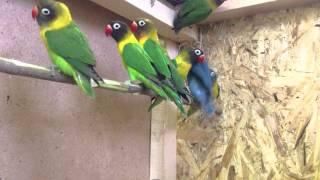 Попугаи Неразлучники продажа оптом