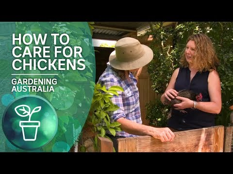 How To Care For Chickens From A Chicken Whisperer