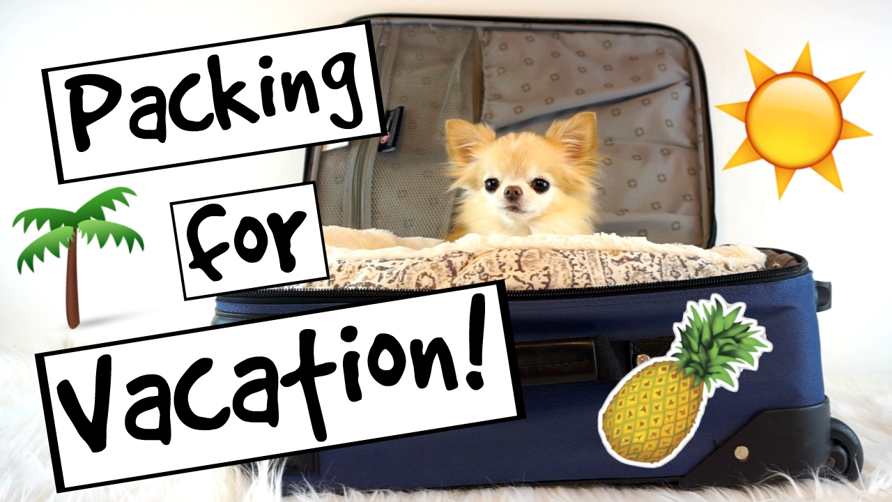 cute puppy size chihuahua packing for vacation youtube