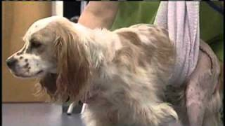 Cocker Spaniel Recovers After Being Thrown From Moving Vehicle