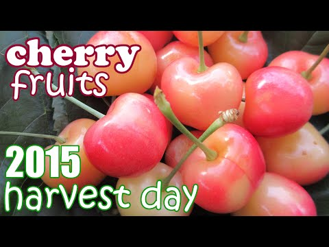 Cherry Tree Harvest Season - Harvesting Rainier Cherries Fruits - Growing Food Fruit Trees - Jazevox