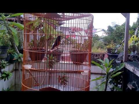 Murai Batu Nembak Love Bird From Melawi (GARUDA)