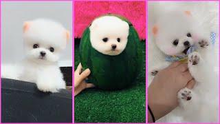 Funny and Cute Pomeranian Videos, Videos de TikTok Part 104