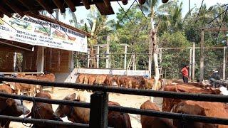 Harga sapi murah!!!pusatnya bibitan sapi murah stok kumplit banyak dan banyak superan di jawa tengah