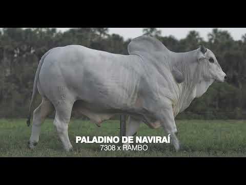 LOTE 05 - PALADINO DE NAVIRAÍ