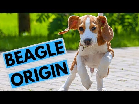 History of the Beagle Dog Breed