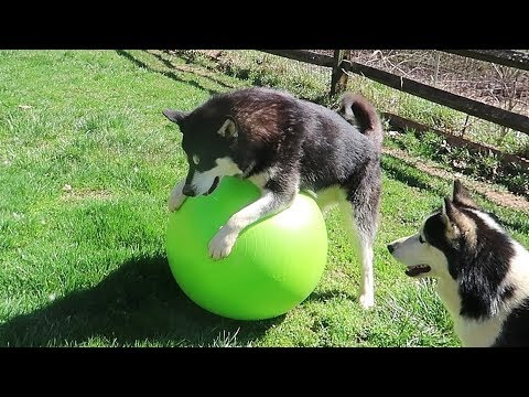 Dog Gets Yoga Ball - Funny dogs