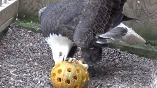 Bald Eagle shreds pumpkin