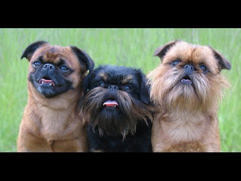 Griffon Belge (Belgian Griffon) - Dog Breed