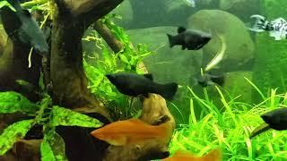 MOLINEZJA rybka przydatna w każdym Akwarium